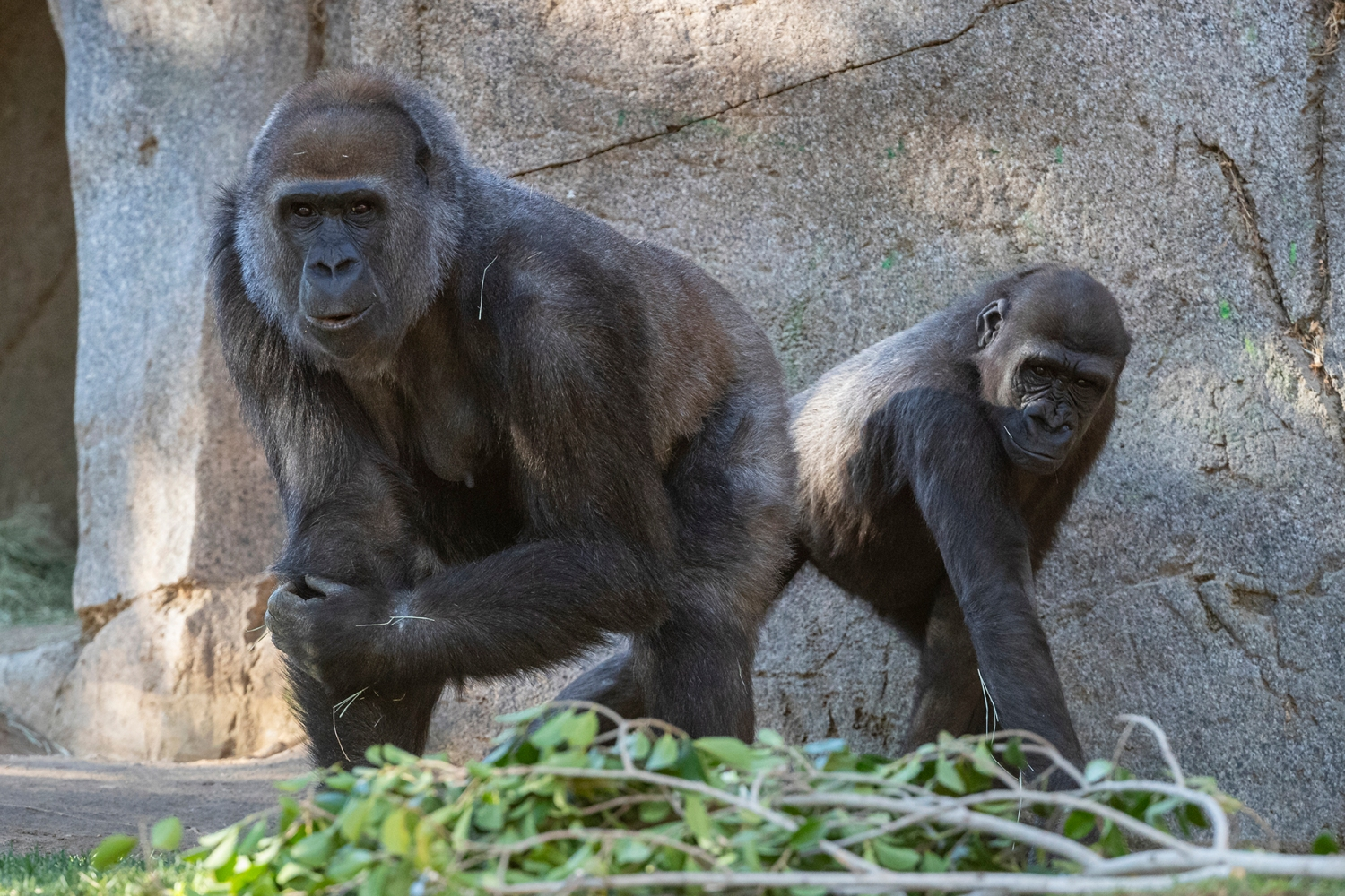 9 Great Apes At San Diego Zoo Become First Non-Humans To Receive A COVID Vaccine